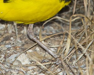 Golden Pipit, Lower Tibia Male