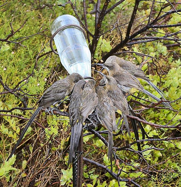Sugarbirds on Avian Leisure's garden feeder