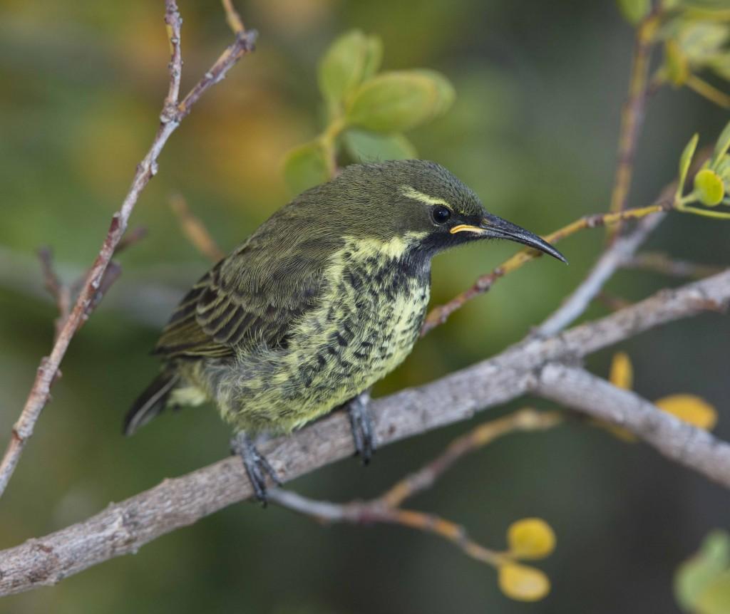 Amethyst Sunbird - sub-adult